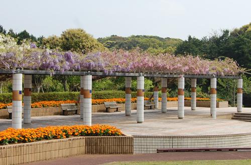 田平公園のふじ